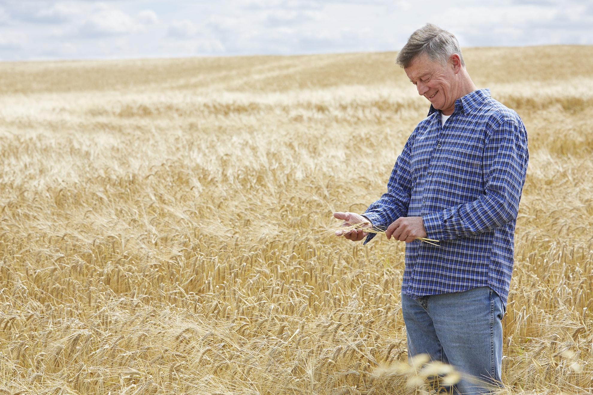 Agriculture, blé dans la main